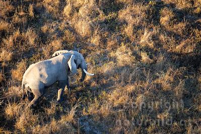 11-z09-09 - Afrikanischer Elefant