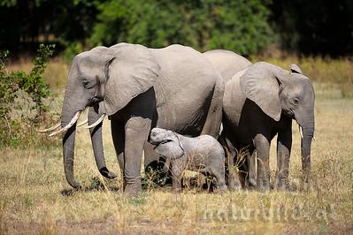 11-z09-18 - Afrikanischer Elefant