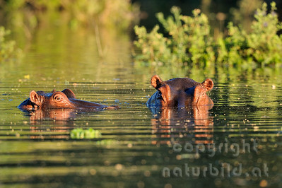 11-Z10-41 - Flusspferde im Licht des späten Nachmittages