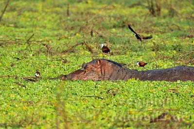 11-Z10-35 - Flusspferd mit Blaustirn-Blatthühnchen