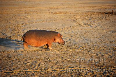 11-Z10-08 - Flusspferd im Lauf