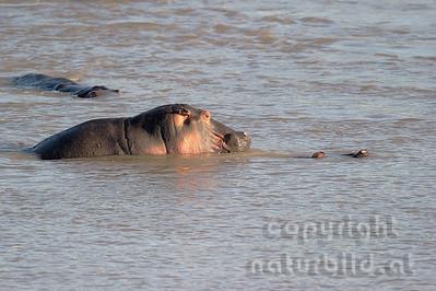 11-Z10-01 - Flusspferd Kopula