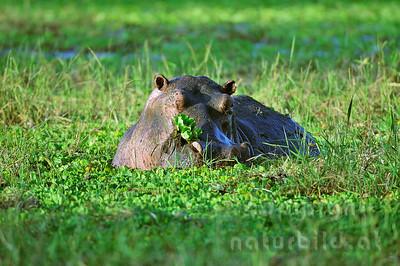 11-Z10-31 - Flusspferd im Pflanzenpool