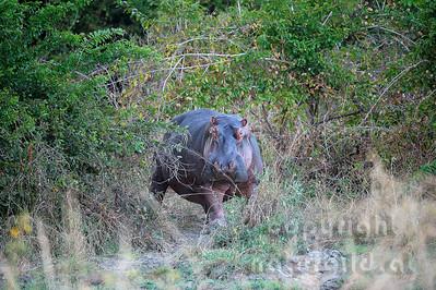 11-Z10-27 - Flusspferd am Rückmarsch