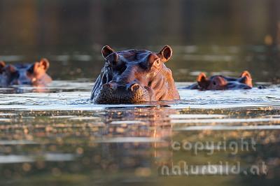11-Z10-47 - Flusspferd Porträt