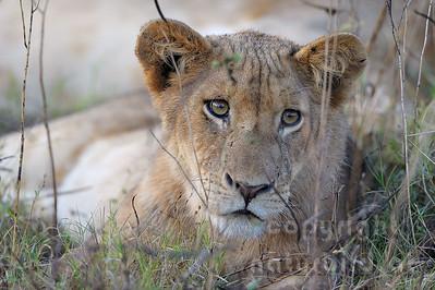 11-Z14-11 - Löwen Weibchen Porträt