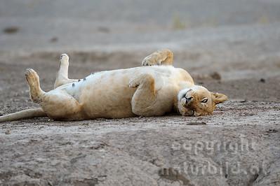 11-Z14-18- Löwen - Weibchen