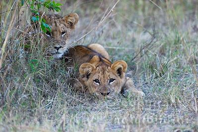 11-Z14-07- Junge Löwen