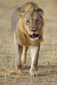 13-Z07-12 - Löwen Männchen