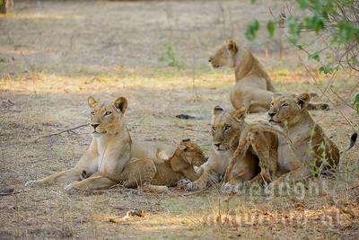 13-Z07-64 - Löwinnen mit Jungen
