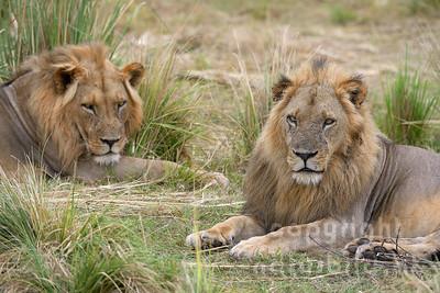 13-Z07-93 - Ruhende Löwen Männchen