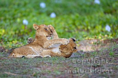 13-Z07-42 - spielende Junge Löwen