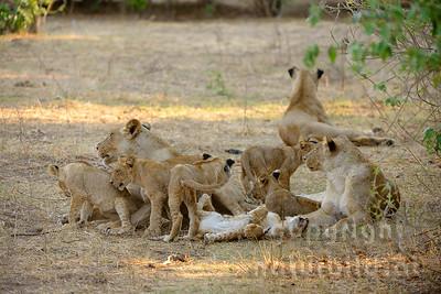 13-Z07-69 - Löwinnen  mit Jungen