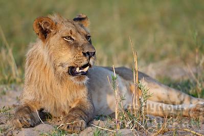 13-Z07-21-Löwe - Männchen