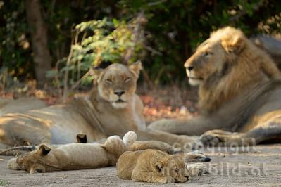 13-Z07-27 - Löwen Familie