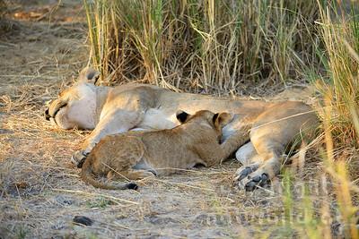 13-Z07-51 - Löwin säugt ihr Junges