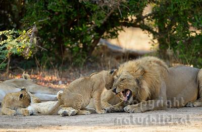 13-Z07-22 - Löwen Familie