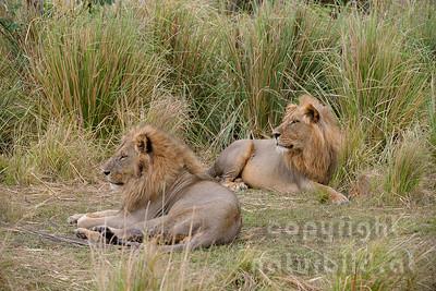 13-Z07-90 - Ruhende Männliche Löwen