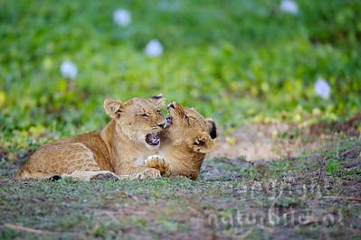 Panhera leo - Lion. Die Ohren des jeweils anderen Jungtieres waren das bevorzugte Ziel der gefühlvollen Biss-Attacken. Lower Zambesi Nationalpark - Sambia