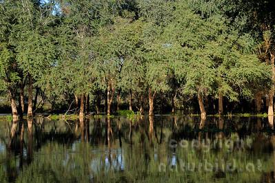 11-Z19-20 - Wald unter Wasser am Sambesi