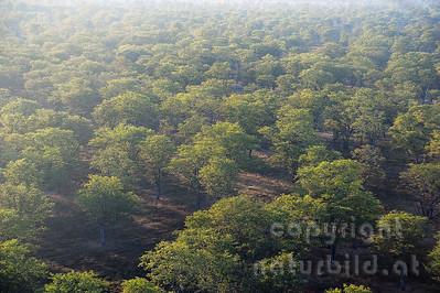 11-Z18-16 - Miombowald am Luangwa Fluss