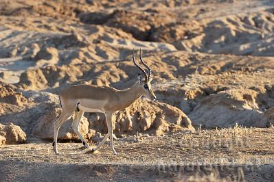 11-Z06-65 - Impala Männchen