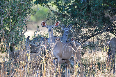 11-Z06-54 - Weibchen des Großen Kudu