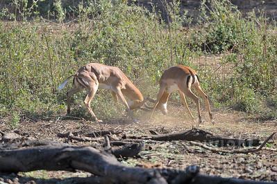 11-Z06-50 - Kämpfende Impala Männchen - 2