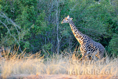 11-Z11-06 - Thornicroft Giraffe
