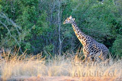 11-Z11-06 - Thornicroft Giraffe