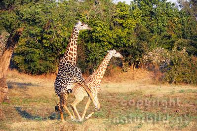 11-Z11-18 - Thornicroft Giraffen Paarung