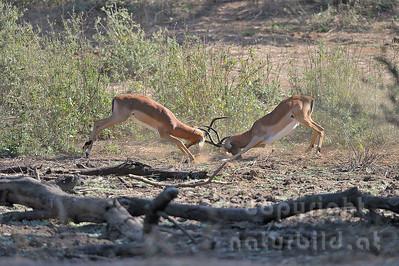 11-Z06-45 - Kämpfende Impala Männchen - 1