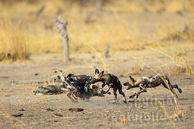 13-Z14-19 - Afrikanische Wildhunde spielend