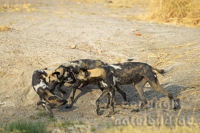 13-Z14-17 - Afrikanische Wildhunde