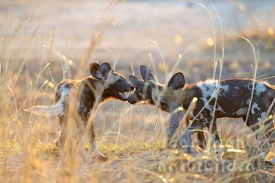 13-Z14-43 - Afrikanische Wildhunde