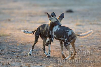 13-Z14-47 - Afrikanische Wildhunde kämpfend