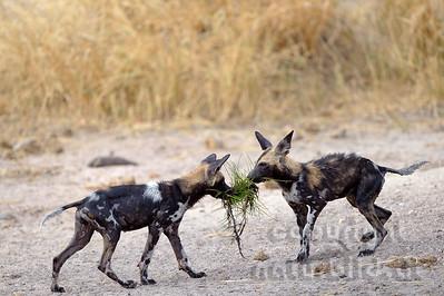 13-Z14-14 - Afrikanischer Wildhunde