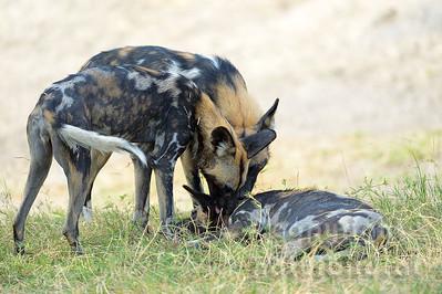 13-Z14-10 - Afrikanische Wildhunde