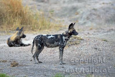 13-Z14-03 - Afrikanischer Wildhund