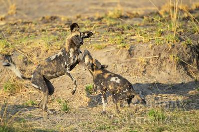 13-Z14-20 - Afrikanische Wildhunde