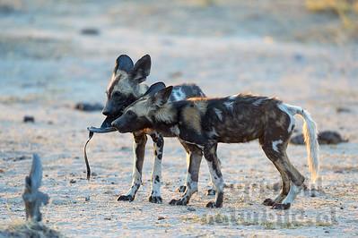 13-Z14-46 - Afrikanische Wildhunde