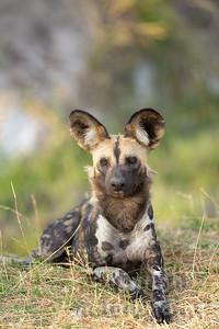 13-Z14-26 - Afrikanischer Wildhund