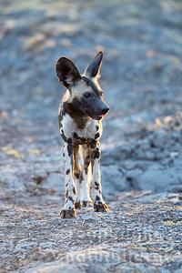 13-Z14-40 - Afrikanischer Wildhund