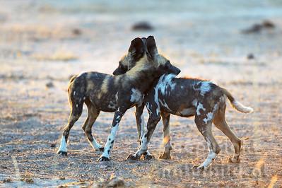 13-Z14-48 - Junge Afrikanische Wildhunde