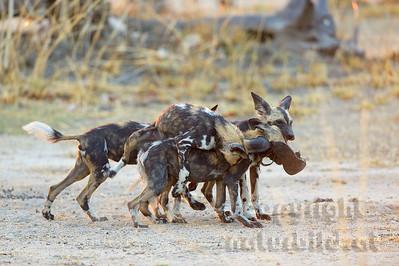 13-Z14-55 - Afrikanische Wildhunde spielend