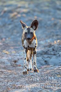 13-Z14-41 - Afrikanischer Wildhund