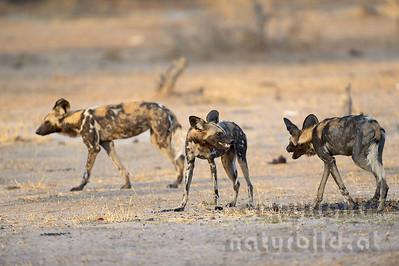 13-Z14-29 - Afrikanische Wildhunde