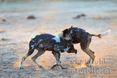 13-Z14-51 - Afrikanische Wildhunde kämpfend