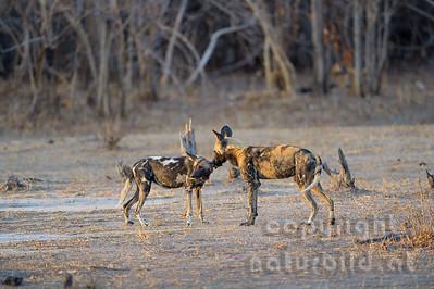 13-Z14-37 - Afrikanische Wildhunde