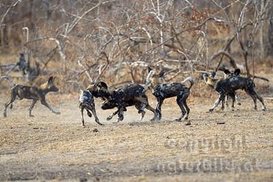 13-Z14-05 - Rudel von Afrikanischen Wildhunden